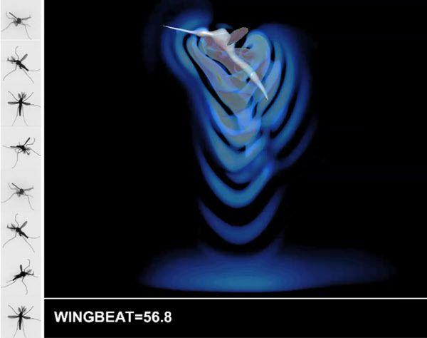 어둠 속에서 비행하는 모기를 고속촬영한 사진(왼쪽)과 컴퓨터 시뮬레이션(오른쪽)을 통해 모기가 날갯짓을 하면서 동심원처럼 퍼져 나간 공기 흐음이 벽에 부딪혔다가 되돌아 오는 것을 확인했다. 모기는 이때 더듬이가 흔들리는 것을 감지해 장애물을 인식한다./영국 왕립수의대