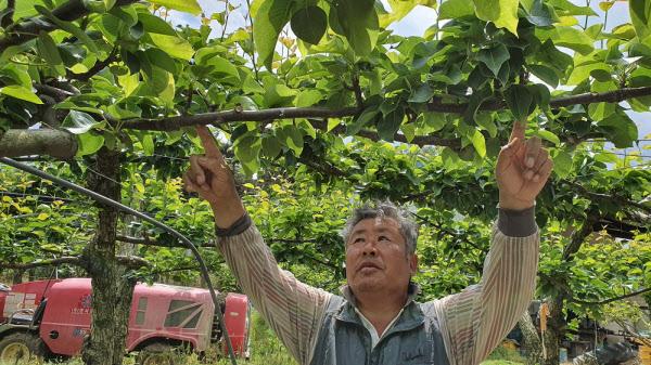 지난 20일 전남 나주 봉황면 철천리에서 정형기씨가 배나무를 살피고 있다. 달려 있는 열매가 보이지 않는다./조홍복 기자