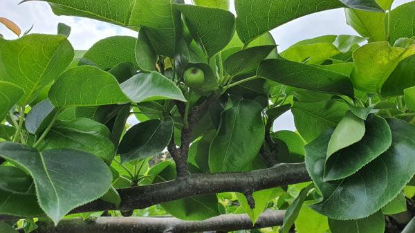 가끔 보이는 배 열매./조홍복 기자