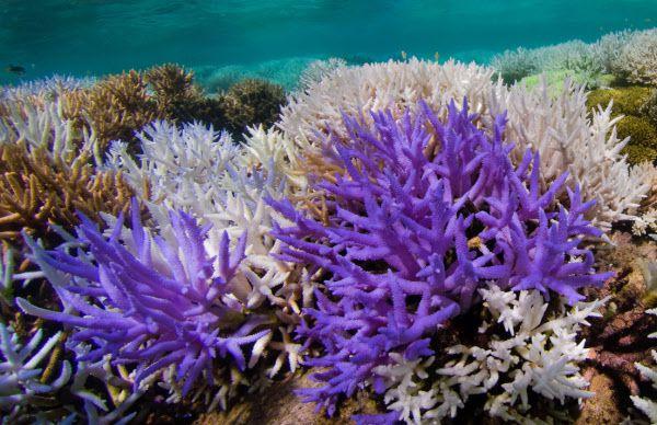 남태평양 뉴칼레도니아의 바다에 사는 산호가 보라색 형광을 보이고 있다. 그 뒤로 백화현상으로 죽어가는 산호도 보인다./영 사우샘프턴대