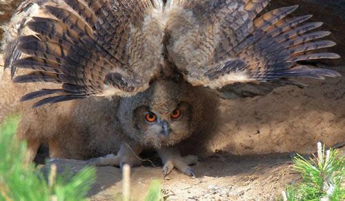 의상대 부근에서 태어난 수리부엉이 새끼가 날개를 활짝 펴고 있다. /낙산사 주지 금곡스님 제공