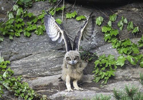 어른의 모습을 제법 갖춘 수리부엉이 새끼가 날갯짓을 하며 비행 훈련 준비를 하고 있다. /낙산사 주지 금곡스님 제공