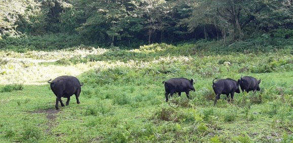 Wild boar that appeared around Jeju Oreum.