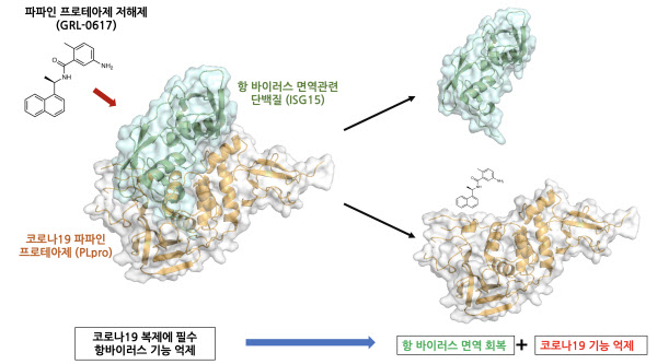 파파인 프로테아제 저해제의 작용 과정. 화합물이 프로테아제에 결합하면 RNA 복제가 차단되며 동시에 면역단백질인 ISG15가 풀려나 면역력이 회복된다./신동혁 박사