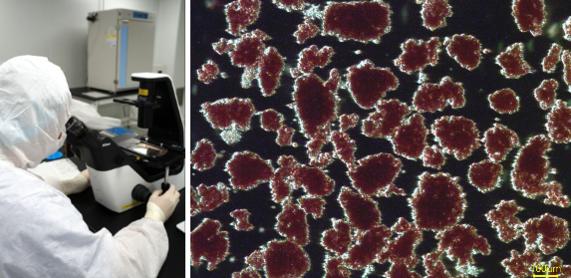 제넨바이오 연구진이 미니돼지 췌도에서 분리한 췌도세포를 보고 있다./제넨바이오 제공