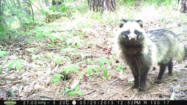 야생에서 살고있는 너구리가 국립생태원이 설치한 방범카메라 영상에 찍힌 모습. /국립생태원