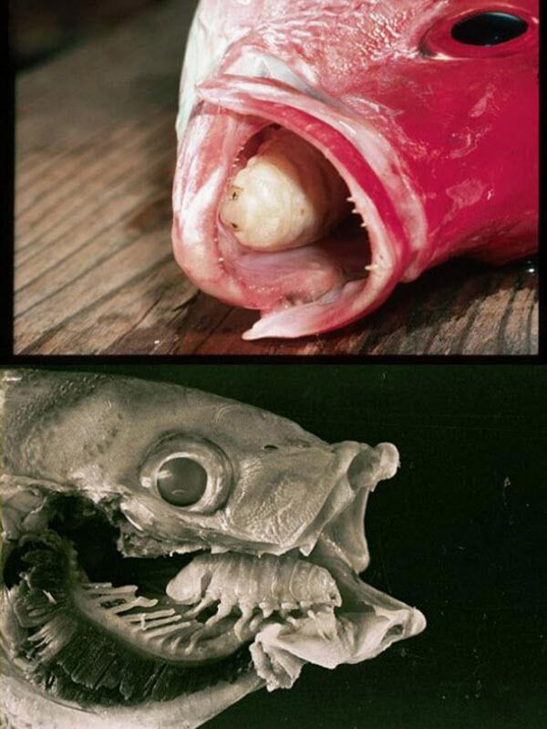 물고기의 혀에서 발견 된 시모 토 아들.  약 380 종 // 서 배나 주립대 학교가있는 것으로 알려져 있습니다.