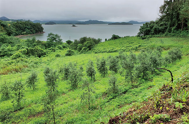전라남도 고흥군 과역면에 위치한 올리브나무 농장의 일부. 주동일 고흥커피주식회사 대표는 고흥 일대 총 17만5200㎡의 대지에서 올리브나무를 재배하고 있다. 줄지어 서 있는 올리브나무는 약 6년이 지난 성목(成木)으로 2022년 가을 올리브 열매 생산을 목표로 하고 있다. photo 박혁진