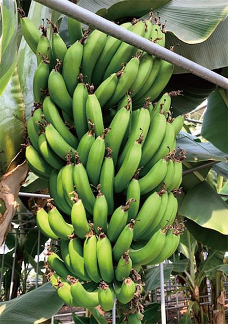 강원도 삼척시 농업기술센터는 지난 6월 바나나 재배에 성공했다. photo 삼척시