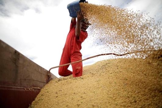 브라질 한 농장에서 콩을 분리하는 작업을 하고 있다. /로이터 연합뉴스